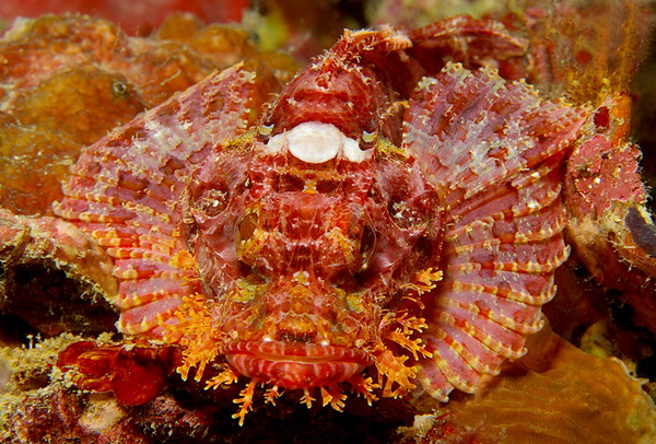 scorpion fish - dive safaris philippines